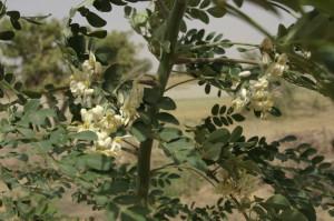 photo-fleur-de-moringa